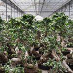 Ficus Kwekerij Aris