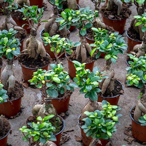 Ficus-Bonsai-Kwekerij-Aris-Aalsmeer